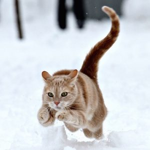 Le chat sauvage a besoin d'un régime alimentaire adapté à se besoins, de sportif, chasseur et carnivore strict.