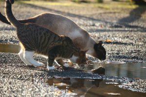 L'eau est le plus important pour le chat, qui est réputé mauvais buveur.