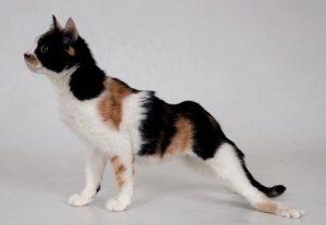 L'hyperparthyroïdie secondaire d'origine nutritionnelle chez le chaton est responsable de malformation osseuse liée à une minéralisation défectueuse.