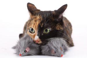 Le chat est un hypercarnivore, et manger de la viande pour lui n'est pas une simple mode, c'est un usage.
